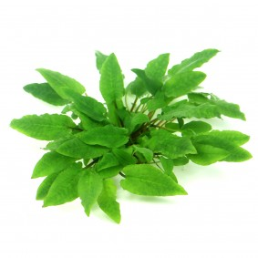 Dennerle Plants Cryptocoryne wendtii ´Broad Leaf´ In-Vitro