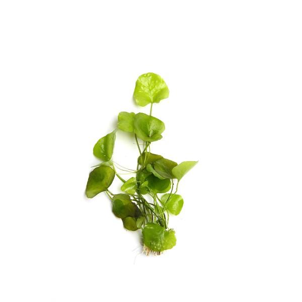 Dennerle Aquarienpflanze Nymphoides spec. ´Taiw...