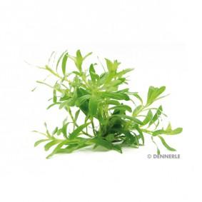 Dennerle Aquarienpflanze Heteranthera zosterifolia In-Vitro