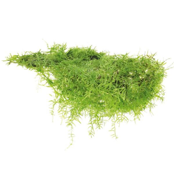 Dennerle Aquarienpflanze Taxiphyllum barbieri I...