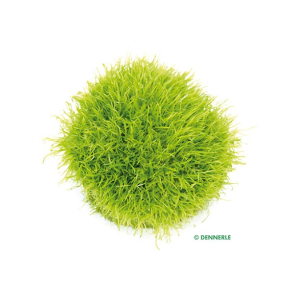 Dennerle Aquarienpflanze Utricularia graminifolia In-Vitro