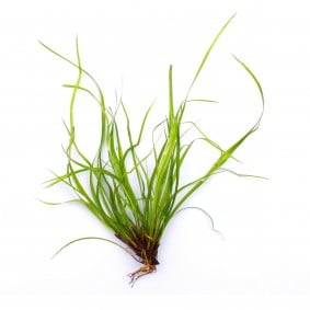 Dennerle Plants Juncus repens In-Vitro