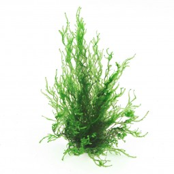 Dennerle Aquarienpflanze Taxiphyllum spec. Flammenmoos In-Vitro