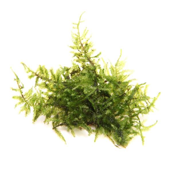 Dennerle Aquarienpflanze Vesicularia montagnei ...