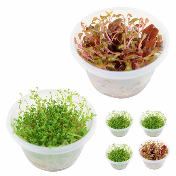 Planet Plants Invitro Cup Glossostigma & Alternathera