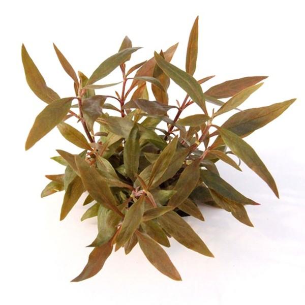 Dennerle Aquarienpflanze Alternanthera reinecki...