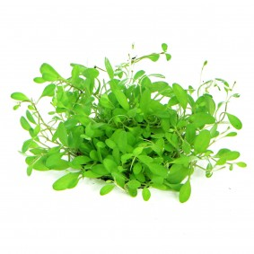 Dennerle Aquarienpflanze Glossostigma elatinoides In-Vitro