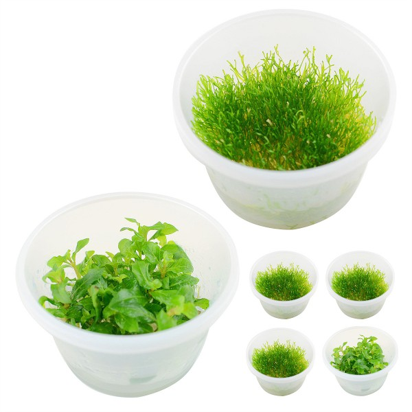 Planet Plans Planet Plants Invitro Cups Riccia ...