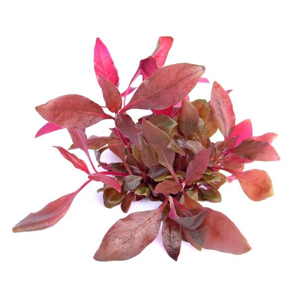 Dennerle Aquarienpflanze Alternanthera reineckii ´Lila´ In-Vitro
