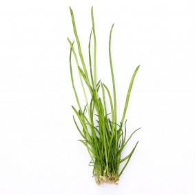 Dennerle Aquarienpflanze Lilaeopsis macloviana In-Vitro