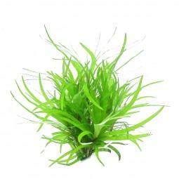 Dennerle Aquarienpflanze Eichhornia diversifolia In-Vitro