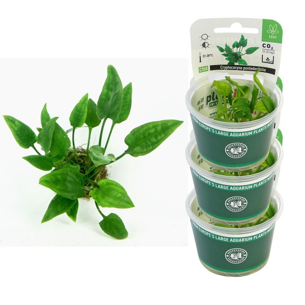 Dennerle Aquarienpflanzen Cryptocoryne ponteder...