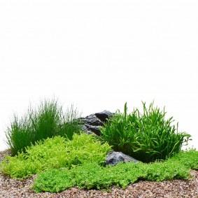 Dennerle Plants Aquariumpflanzen 5er Mix Vordergrund