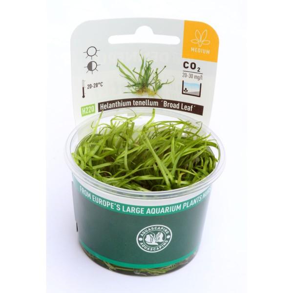 Dennerle Aquarienpflanze Helanthium tenellum ´Broad leaf´In-Vitro