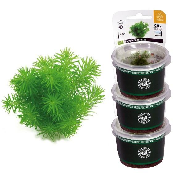 Dennerle Aquarienpflanzen Pogostemon erectus In-Vitro Aquarium Pflanzen