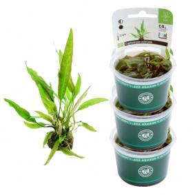 Dennerle Aquarienpflanzen Cryptocoryne usteriana In-Vitro Aquarium Pflanzen