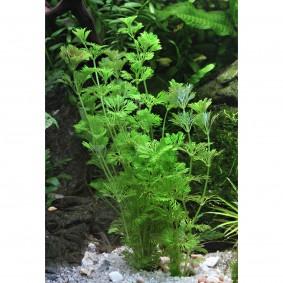 Dennerle Aquarium Pflanzen Limnophila sessiliflora In-Vitro