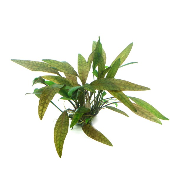Dennerle Aquarienpflanze Cryptocoryne cordata In-Vitro