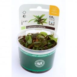 Dennerle Aquarienpflanze Cryptocoryne x purpurea In-Vitro