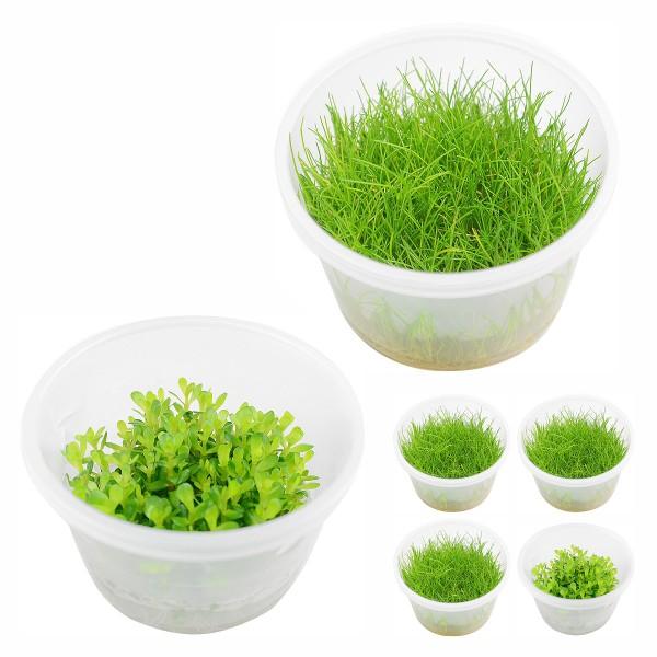 Planet Plants Invitro Cups Eleocharis & Rotala ...