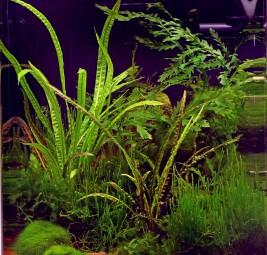 Dennerle Aquarium Pflanzen Cryptocoryne crispatula In-Vitro
