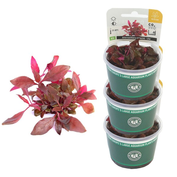 Dennerle Aquarienpflanzen Alternanthera reineckii ´Lila´ In-Vitro Aquarium Pflanzen