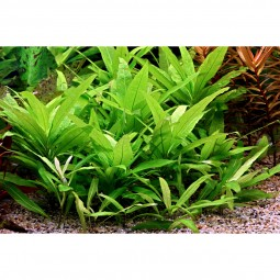 Dennerle Aquarium Pflanzen Hygrophila corymbosa ´Stricta´ In-Vitro
