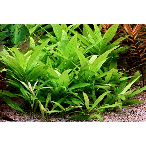 Dennerle Aquarium Pflanzen Hygrophila corymbosa...